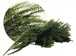 Lycopodium busta gr25